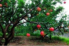How to Care for Pomegranate Trees | eHow