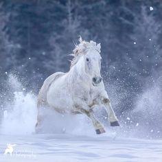 Horses In Snow, Animals, Animales, Animaux, Animal, Animais