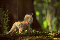 Red Fox Cub by Hubert Waizenegger