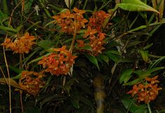 Orchid: Epidendrum diothonaeoides - Flickr - Photo Sharing!