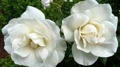 A rosarian of 50 years wants gardeners to know that despite what they may have heard, these lovely plants are not difficult to grow.