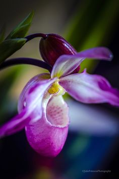 ~~Lady Slipper in Pink by Julie Palencia~~