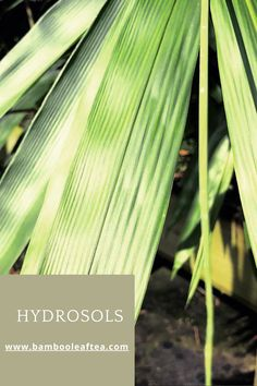 Hydrosols are highly medicinal plant extractions. They can be used internally and externally. Let's explore these magical elixirs. Bamboo Leaves, Medicinal Plants, Being Used, Celery, Medicine, Let It Be, Explore, Canning, Vegetables