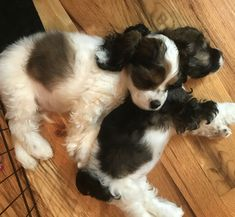 Black Cocker Spaniel, American Cocker Spaniel, Cocker Spaniel Puppies, Doggies, Pet Dogs, Dog Cat, Pets, Tiny Puppies, Adorable Puppies