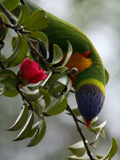 Lorikeet in the Camellia. Love the colorful plumage on this bird!