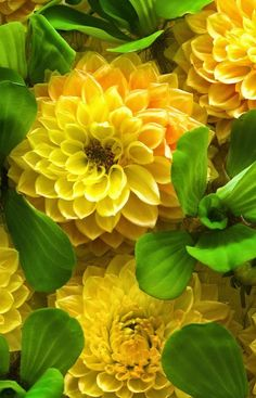Dahlia. These are stunning!!