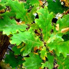 Quercus robur - English Oak  - Deciduous  - Hardy to most conditions.  - Dimensions: 10x8 metres