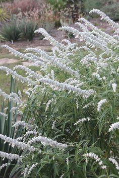 White Mischief Mexican Bush Sage for sale, buy Salvia leucantha 'White Mischief' Rock Garden Plants, Cottage Garden Plants, Shade Garden, Purple Garden, Garden Shrubs, Cottage Gardens, Farm Gardens, Garden Bed, House Plants