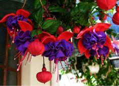 Las Fucsias y sus variados colores