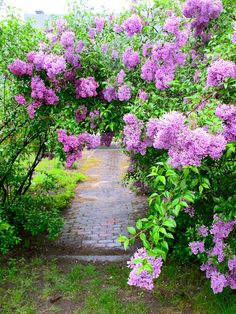 Lilac garden - love Lilac - have two little bushes -maybe one day they will grow like this