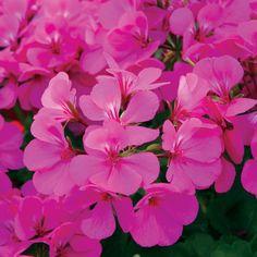 Timeless™ Lavender - Geranium - Pelargonium-continuous bloom or rebloomer, heat and drought tolerant