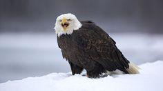 """mydailypetsparadise: """"beautiful bird in the snow """""""