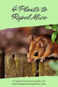 Have you seen mice around your yard, or worse, in your home? Did you know that there are plants that can help repel mice? Learn about 4 of these mice repelling plants here. #indoorgardening #gardeningtips #indoorplants #houseplants #plantsthatrepelbugs