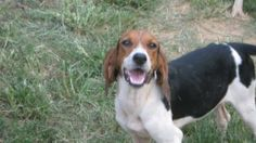 for sale, Treeing Walker Coonhound - Daisy - Medium - Adult - Female - Dog This is sweet l. Americanlisted has classifieds in Dandridge, Tennessee for dogs and cats. Kennel hounds, dogs and all kinds of cats Walker Hound, Treeing Walker Coonhound, Kinds Of Cats, Dog Boarding, Beagle, Dog Cat, Daisy, Puppies, Medium