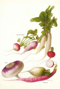 Vintage 1960s Radish Turnip Color Illustration Book Page