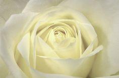 Cream Rose by kasseggs