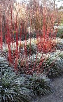 Cornus alba 'Sibirica' underplanted with Carex morrowii 'Fisher's Form' in Winter in the Sir Harold Hillier Gardens.