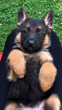 Dog Supplies, Lhasa Apso Puppy, – Ideas For Puppy, Animals Cutest Dogs. Top Cutest Dogs Giving Puppy Dog Eyes Cute Little Animals, Cute Funny Animals, Funny Dogs, Cute Dogs And Puppies, Doggies, German Shepherd Puppies, German Husky Mix, German Shepherd Videos, Baby German Shepherds
