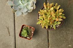 succulent plants Dalilah Arja ; Gardenista