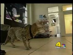 This is a story on Ashera cats that I produced for KNBC's Special Projects that aired during sweeps in Spring Asian Leopard Cat, Cheetah, Ashera Cat, Savanna Cat, Exotic Cat Breeds, Animals And Pets, Cute Animals, Hypoallergenic Cats, Purebred Cats