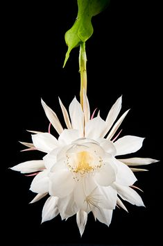 queen of the night (night blooming cereus) | use real butter