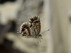 Soluzioni rapide per tenere lontano la farfalla dei gerani (Cacyreus marshalli) che può mettere a dura prova le piante! Azadirachta Indica, Animals, Animales, Animaux, Animal, Animais