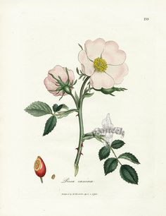 Woodville Medical Botany, with illustrations by James Sowerby 1790-1795