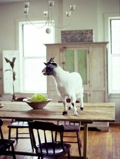 OMG! granny woulda had a cow if she knew a goat was in the house! We'd be eating it for dinner!