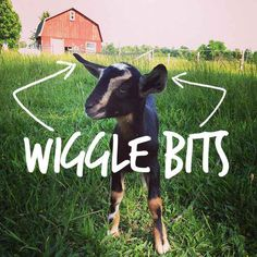 Wiggle Bits- click on the link for the funniest fake article about goat anatomy.