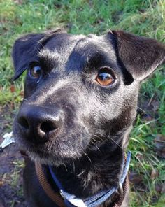 Brock – 4 year old male Patterdale Terrier dog for adoption at Rescue Remedies