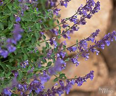 Nepeta, or catmint, has rich blue flowers that stand up to heat and drought. Plus, after they finish blooming, you can shear the plant back by a third of its height and it'll bloom again in the late summer and early fall. Taller varieties that grow 3 feet tall look great mixed with roses, peonies, or ornamental grasses. Shorter catmints that grow just 12 inches tall excel at the border's edge. Grows in Zones 3-9.
