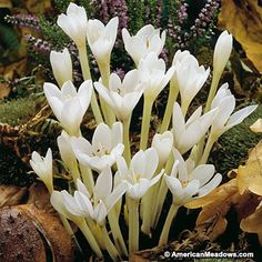 Colchicum Bulbs Autumn White, Colchicum autumnale - Bearded Iris from American Meadows Autumn Flowering Plants, Fall Plants, Exotic Flowers, White Flowers, Beautiful Flowers, Ficus, Saffron Crocus, Crocus Bulbs, Rain Lily