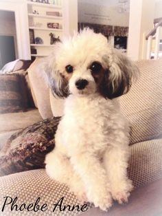 Poodle Puppies, Toy Puppies, Cute Puppies, Dogs And Puppies, Little Dogs, Big Dogs, Poodle Haircut, Toy Poodles, French Poodles