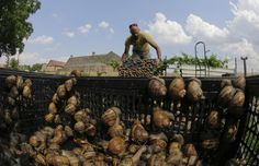 Austrian snail farmer Andreas Gugumuck collects snails (Helix Aspersa ...