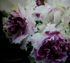 """Russian African Violet """"RS Liedianaja Roza"""""""