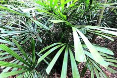 Licuala glabra http://www.thestar.com.my/News/Environment/2014/08/25/Wild-about-palms/