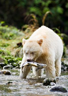 The Kermode Bear (Ursus americanus kermodei) is a sub species of the American Black Bear. It lives deep within the temperate rainforest in British Columbia, Canada and is often referred to as the Spirit Bear. Beautiful Creatures, Animals Beautiful, Cute Animals, Wild Animals, British Columbia, American Black Bear, Spirit Bear, Spirit Animal, Love Bear