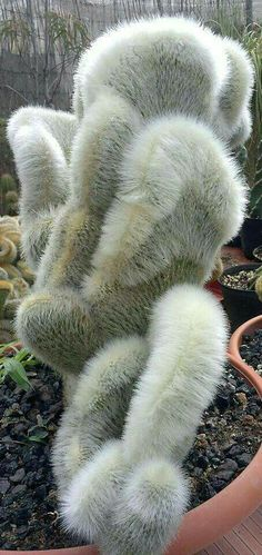 "These 17 Unusual Plants Just Prove Nature Can Be Weird Sometimes Cleistocactus strausii ""Silver Torch"" Weird Plants, Unusual Plants, Rare Plants, Exotic Plants, Cool Plants, Succulent Gardening, Cacti And Succulents, Planting Succulents, Planting Flowers"