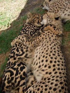 Rare Animals, Animals And Pets, Funny Animals, Wild Animals, Beautiful Cats, Animals Beautiful, Big Cats, Cute Cats, Big Cat Family
