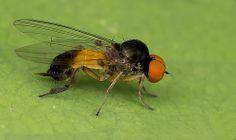 Flat-footed Fly  Platypezidae  Agathomyia zetterstedti (male)