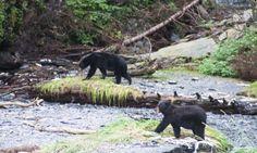 Wir haben sowas von Glück: Gleich zwei Bären kommen vor unsere Linse. Foto: Ingo Busch Blinde, Blind Dates, Black Bear, Ingo, Nest, Animals, Wild Animals, Keep Running, Nest Box
