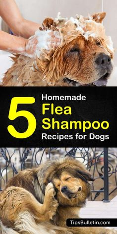 You and your dog no longer have to suffer from flea infestations. Learn how you can use own of our homemade flea shampoo for dogs recipes with ingredients like vinegar coconut oil and essential oils to kill fleas and soothe your puppy's dry skin. Flea Bath For Dogs, Flea Spray For Dogs, Flea Shampoo For Dogs, Diy Dog Shampoo, Flea Medicine For Dogs, Homemade Flea Shampoo, Homemade Flea Spray, Homemade Conditioner, Homemade Flea Killer