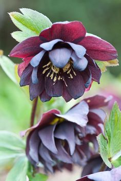 Double hellebores