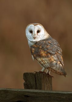 featheroftheowl: Barn Owl, Tyto alba por Nigel Pye