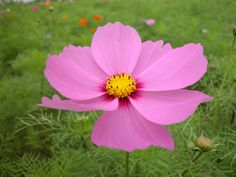 Cosmos - simple pretty flower, lacy foliage, love to watch them nodding in the breeze