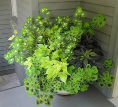 I really like this combination of coleus and sweet potato vines for a shady pot on my front porch.