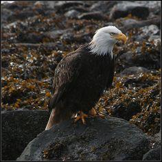 Haida Gwaii Eagle Information Center, Tourist Information, Charlotte City, Sport Fishing Boats, Salmon Run, Haida Gwaii, Canada Eh, Creature Feature, Archipelago