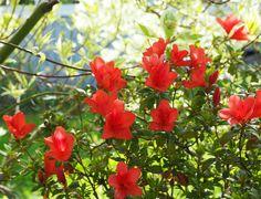 Slik holder jeg liv i azalea år etter år. Slik, Planters, Plant, Window Boxes, Pot Holders, Flower Planters, Pots