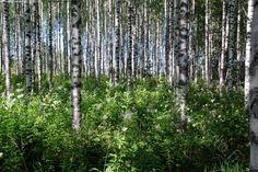 Kesäinen koivikko - koivikko koivu suku betula talousmetsä metsätalous viljely mesiangervo rehevä kasvillisuus runko kesä helle lämpö suvi vehreys suomalainen metsä