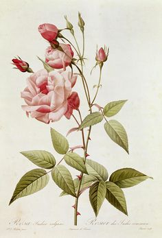 Rosa Indica Vulgaris Painting by Pierre Joseph Redoute - Rosa Indica Vulgaris Fine Art Prints and Posters for Sale
